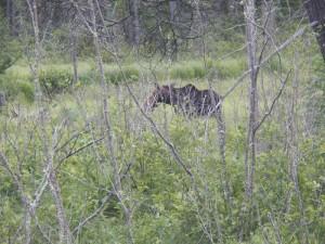 finding moose in Algonquin Park